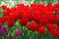 Red Tulips Skagit Valley
