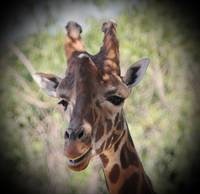 Smiling Giraffe with Vignette
