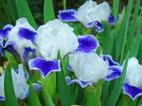 Iris Flower Floral art prints Blue White Irises