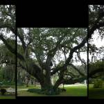 """The Confederate Oak"" by MPollock"