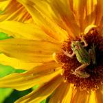 """""""Sunflower!"""" by AndreaNicole"""