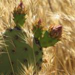 """Wheat & Prickly Pear"" by jennbass"