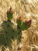 Wheat & Prickly Pear