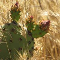 Wheat & Prickly Pear Art Prints & Posters by Jenn Bass