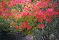 Monet Tree Like Maple Leaf