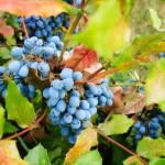 """Wild grapes"" by AlexandruVita"