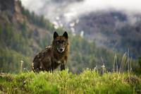 Yellowstone National Park Black Wolf