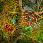 """Pine Cone"" by Waseem"