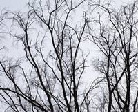 dormant tree tops in winter