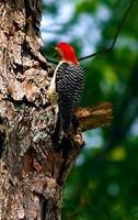 My Backyard Woodpecker Photo by Ginette Callaway