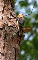 My Backyard Woodpecker # 2