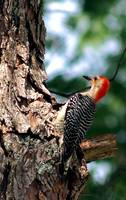 My Backyard Woodpecker #3 Photo by Ginette Callawa