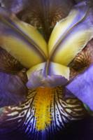purple and yellow iris in bloom