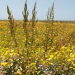 """Wild Flowers at the Tijuana Estuary"" by jlmphotography"