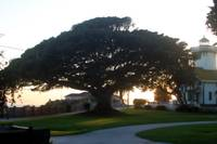 Point Fermin Oak Tree 0556
