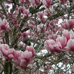 """Magnolia beauty"" by Photos4Ever"