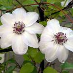 """White Clematis after morning rain"" by Photos4Ever"