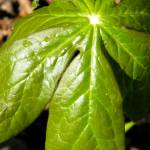 """Mayapple after rain"" by Photos4Ever"
