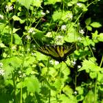 """Swallowtail Butterfly-2"" by Photos4Ever"