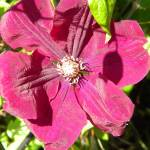 """Red Clematis"" by Photos4Ever"