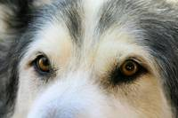 IN THE EYES, DOGS, ALASKAN MALAMUTE