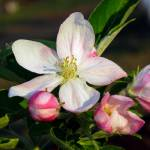 """Apple Blossom Squared"" by Lorraine_Sommer"