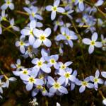 """Bluets"" by Lorraine_Sommer"
