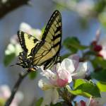 """Butterfly and Blossom 2"" by Lorraine_Sommer"