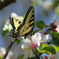 Butterfly and Blossom 2