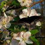 """Apple Blossoms and Butterflies 3"" by Lorraine_Sommer"