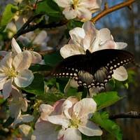 Apple Blossoms and Butterflies 3