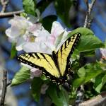 """Butterfly And Blossoms Squared"" by Lorraine_Sommer"