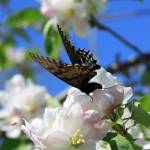 """Butterfly Blue Sky And Blossoms Squared"" by Lorraine_Sommer"