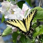 """Tiger Swallowtail Close Up"" by Lorraine_Sommer"