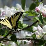 """Apple Blossoms and Butterflies"" by Lorraine_Sommer"