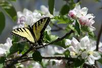 Apple Blossoms and Butterflies