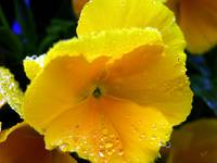 Yellow Rainflower Three
