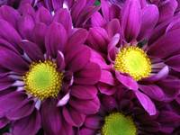 Purple  flowers with yellow (i)
