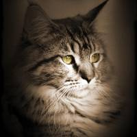 Classic Tabby Maine Coon by I.M. Spadecaller