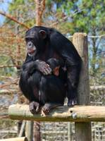 Mother and Baby Chimpanzee 2