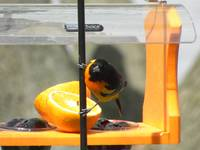 Oriole at the feeder