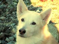 Loki, White, Wolf, Dog, Animals, color