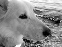 Loki, Wolf, White, Dog, Profile, Beach