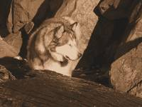 Kodiak, Malamute,Hiking, Alaska, Dog, Rocks,Sepia