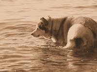 Kodiak, Malamute, Alaska, Dog, Water, Sepia