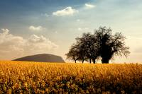 Trees in a golden field