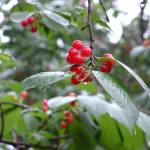 """cherries"" by Dammy"