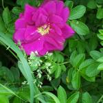 """Wild Rose"" by DebraCyr"