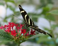 Zebra butterfly on red flower