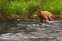 Young Grizzly in the Russian River